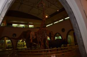 Real life sizes of wild animals in Kenya on display at the Nairobi Museum.