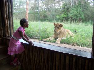 Face off with a teenage lion at the Safari Walk